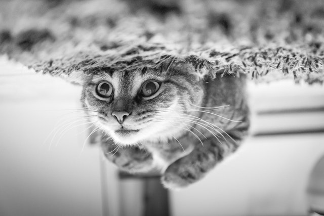 Black and White Image of a cute kitten laying on her back staring to represent life changes-flipped vertically
