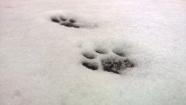 Cat paws in the snow for my haiku