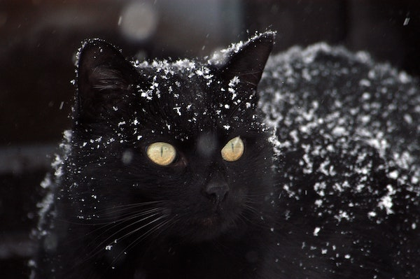Image of cute black cat sprinkled in snow-lucky cat meets snow article