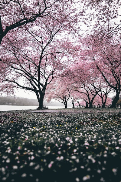 Image of sakura tree and falling petals on the ground-memory of grief and joy